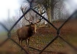 video bild hirsch